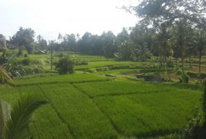 Bali Rice Paddies Trekking Ubud Camp 03